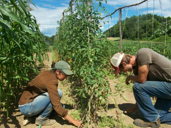 Students working on the organic farm at Dartmouth.
