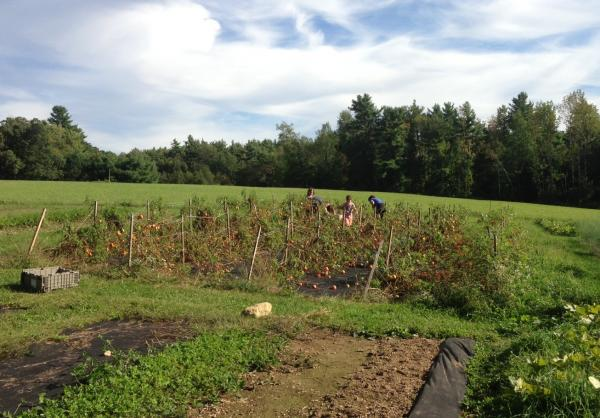 Gershfields glean tomatoes at Hungry Bear Farm