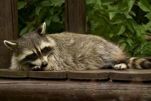 Raccoons were the animal most frequently found rabies positive in 2013 in New Hampshire