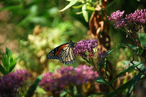 A monarch on its favorite habitat, the milkweed.