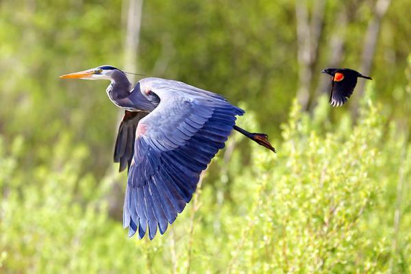 Heron and Red-winged Blackbird, Burnaby Lake, British Columbia, Canada.