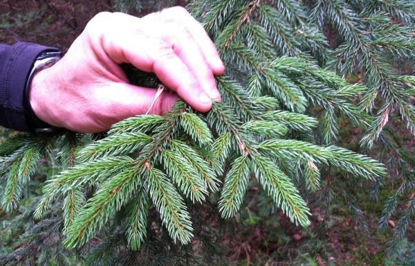 US Forest Service Researcher Paul Schaberg holds up a lush, healthy red Spruce branch for inspection