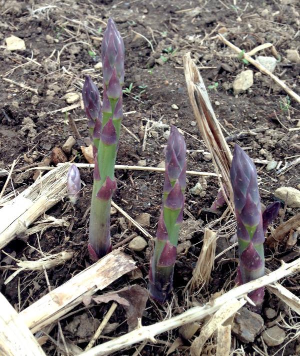 Asparagus ready to harvest at Coppal House Farm