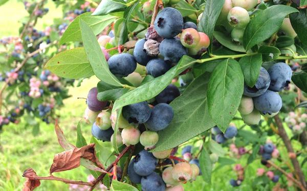 Blueberries ripening on the bushes at Apple Hill Farm.