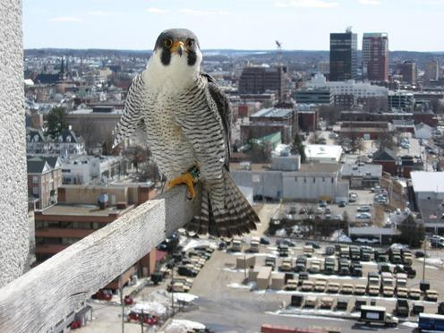 manchester peregrine finds new mate new hampshire public