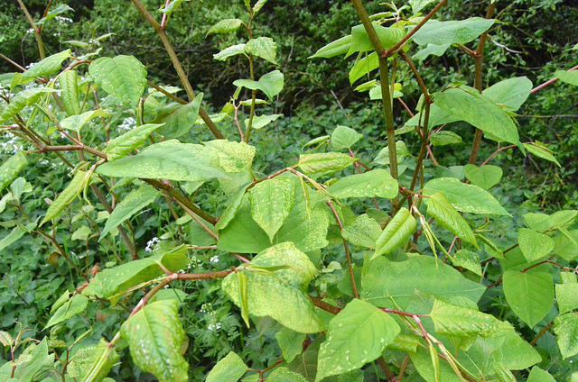 N H S War On Invasive Bugs Amp Plants New Hampshire
