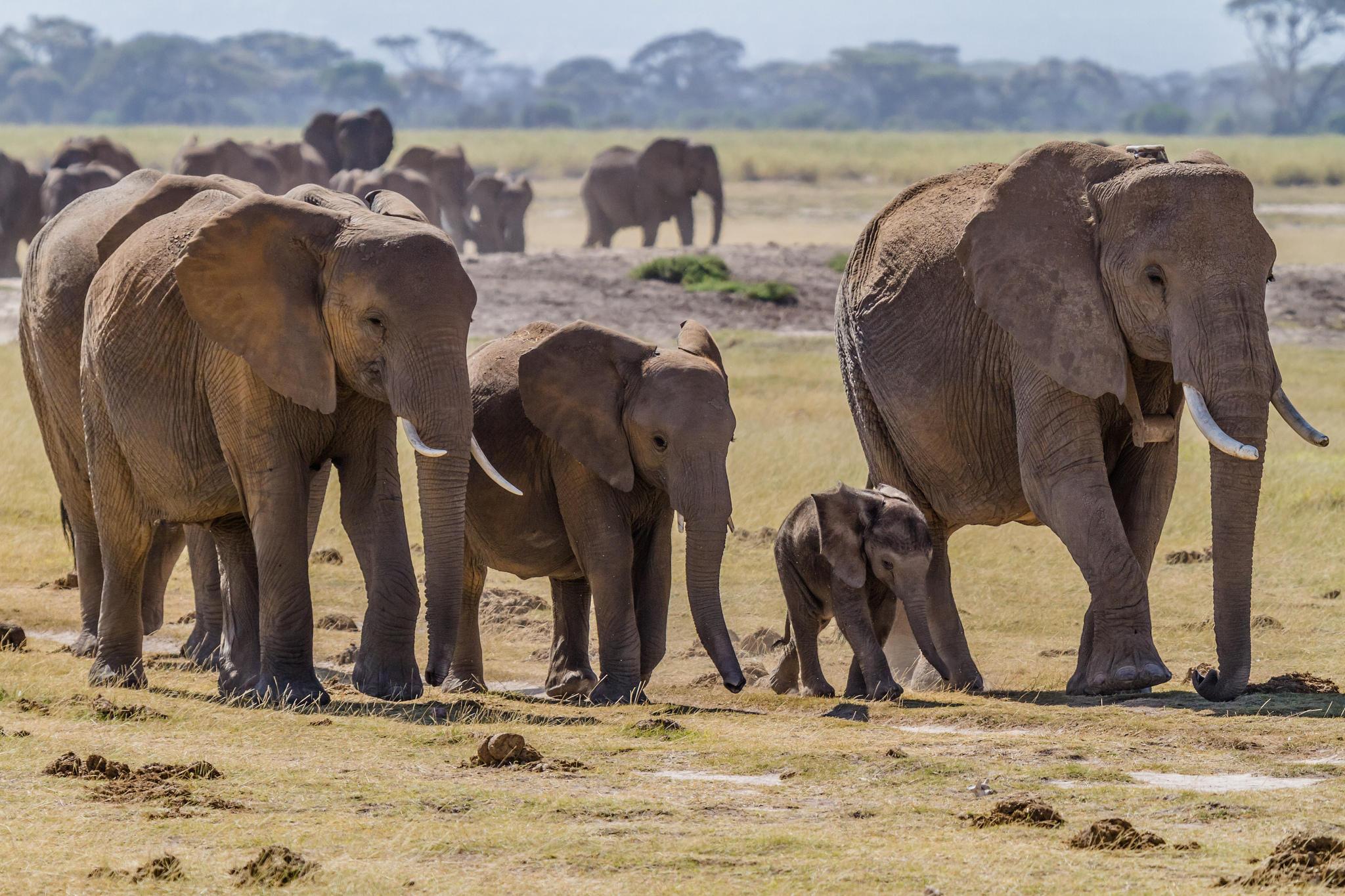 Слоныв природе секс 26 фотография