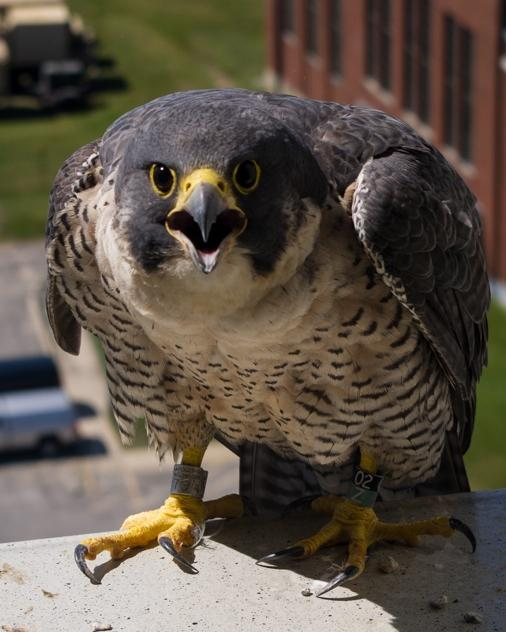Peregrine falcon cam manchester nh