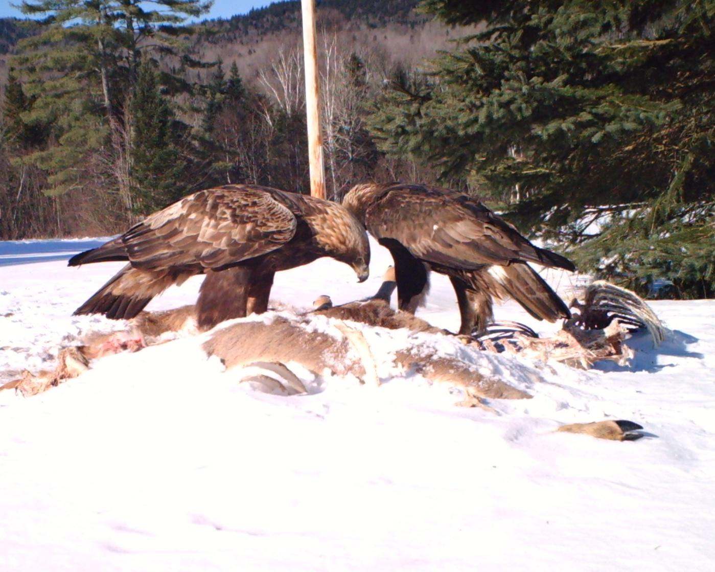 Something Wild Are Golden Eagles Returning To The Granite