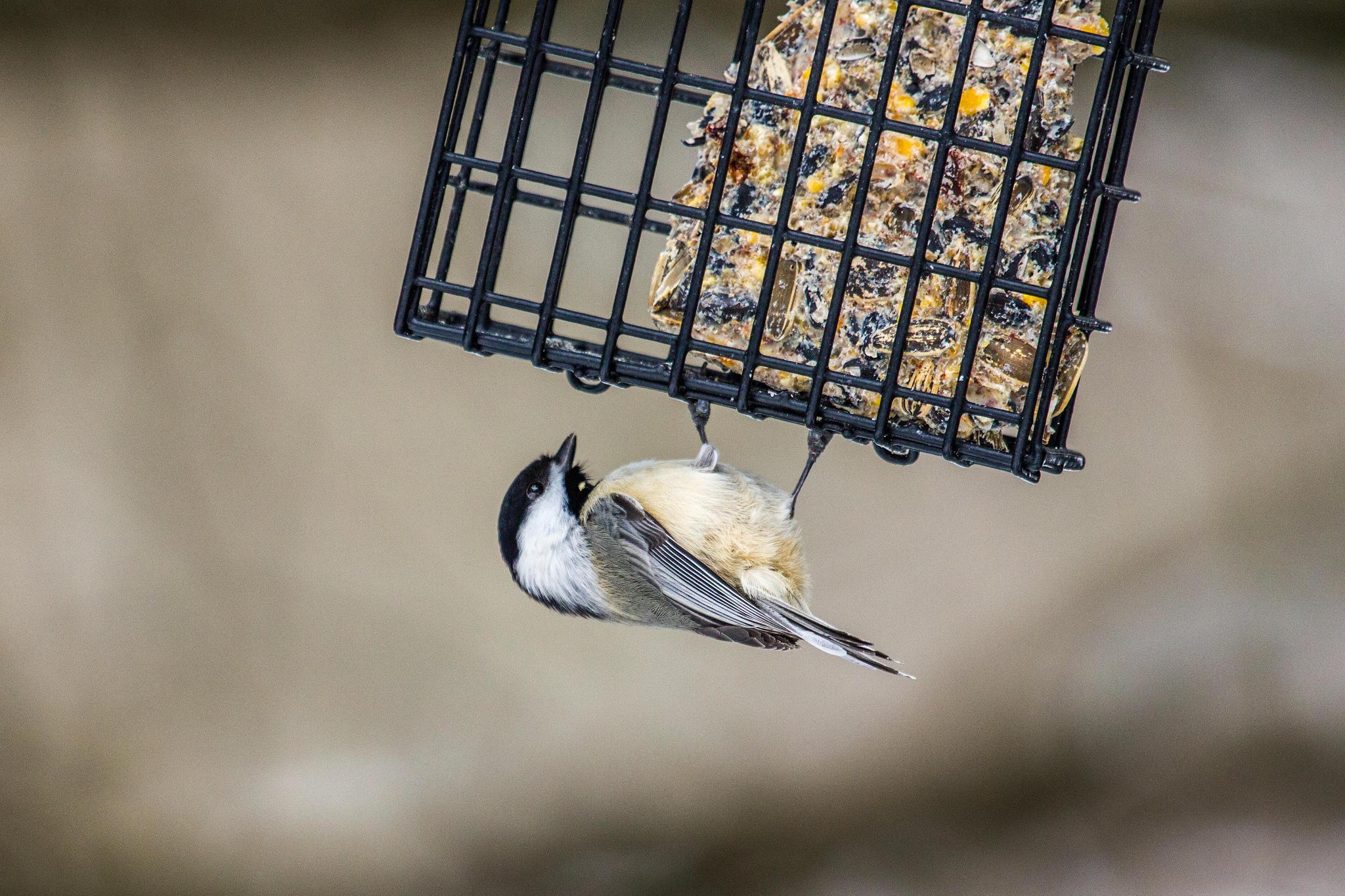 Los pájaros del invierno | Radio Pública de Nueva Hampshire