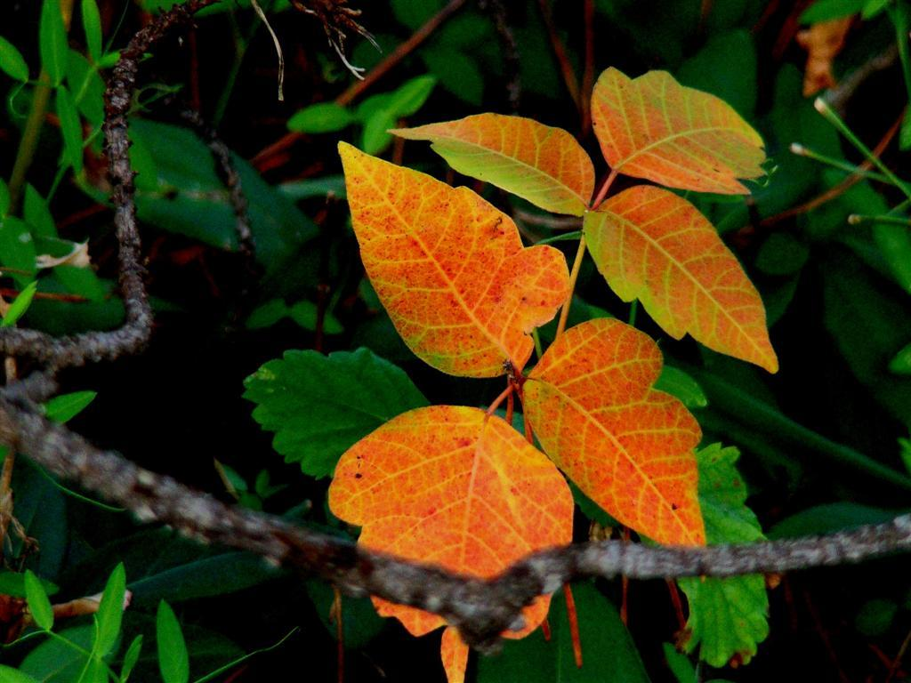 Something Wild Watch Out For Poison Ivy New Hampshire