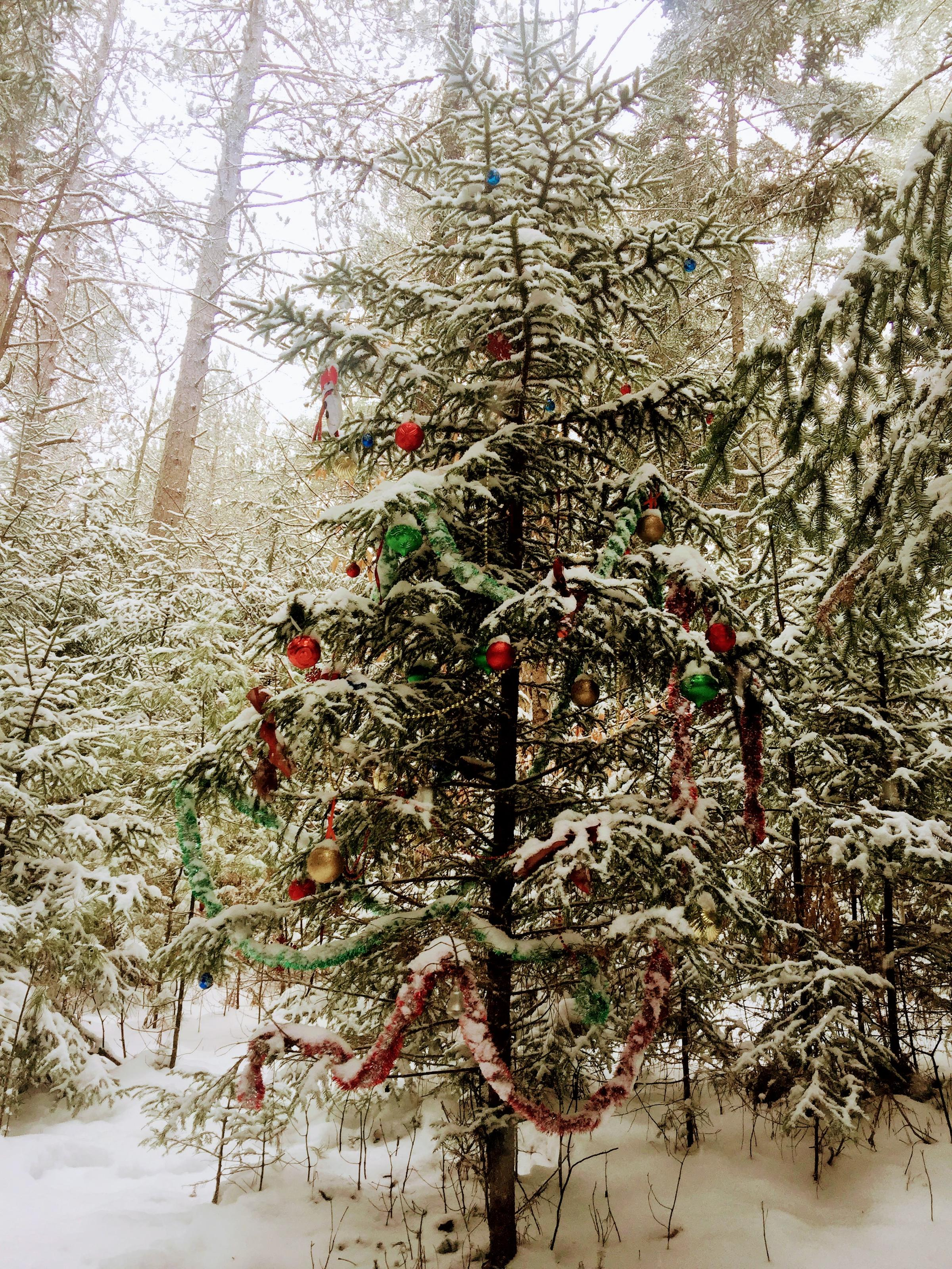 this tree can be found about a half mile up the pine flats ski trail leaving off from the smarts brook trailhead - Christmas Tree Branch Decorations