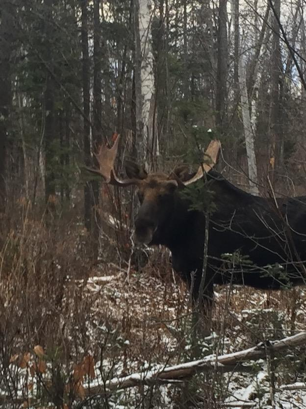 The State Of The State S Moose New Hampshire Public Radio