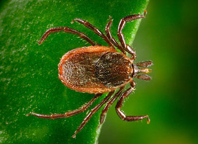 Tick season: Ottawa deemed at-risk area for Lyme disease
