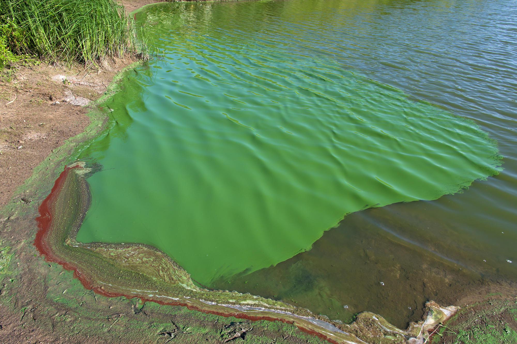 cyanobacteria algae