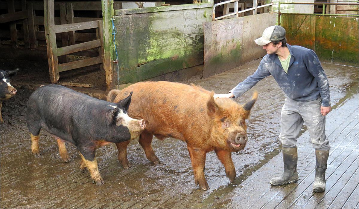Hidden River Farms grows grain near Montesano, Washington, to fatten heritage hogs like these. CREDIT TOM BANSE / NORTHWEST NEWS NETWORK