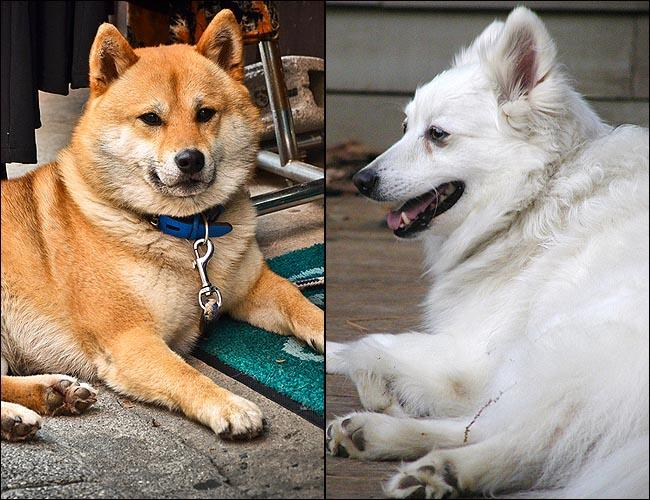 Research suggests that modern breeds Shiba Inu (L) and American Eskimo have a close relationship with historic woolly dogs.