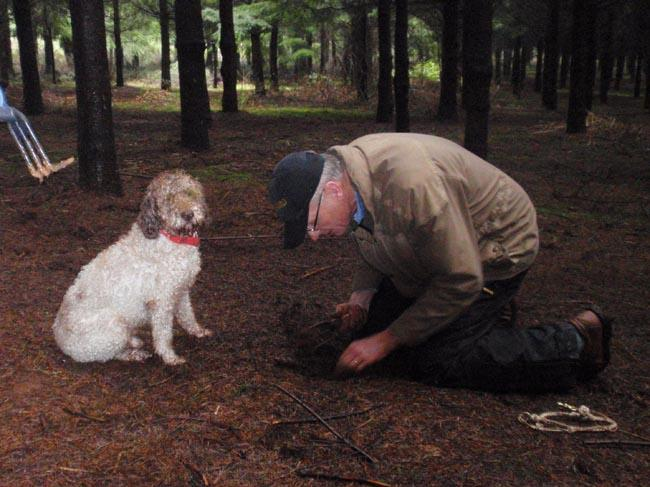 Dog trainer Jim Sanford searches for a truffle that his Lagotto Romangnolo (Italian truffle dog) alerted him to.