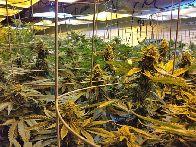 Proposed rules would require marijuana to be grown within a fully enclosed secure indoor facility or greenhouse.