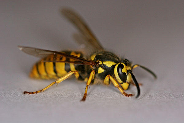Yellow jackets are aggressive and can have nests as large as a basketball.