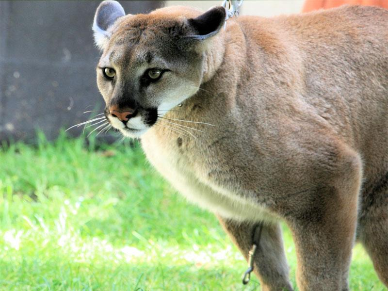 File photo of a female cougar