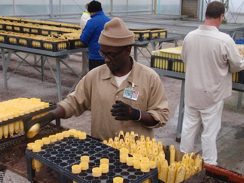 Inmate Joseph Njonge at work in the Stafford Creek Corrections Center conservation nursery.