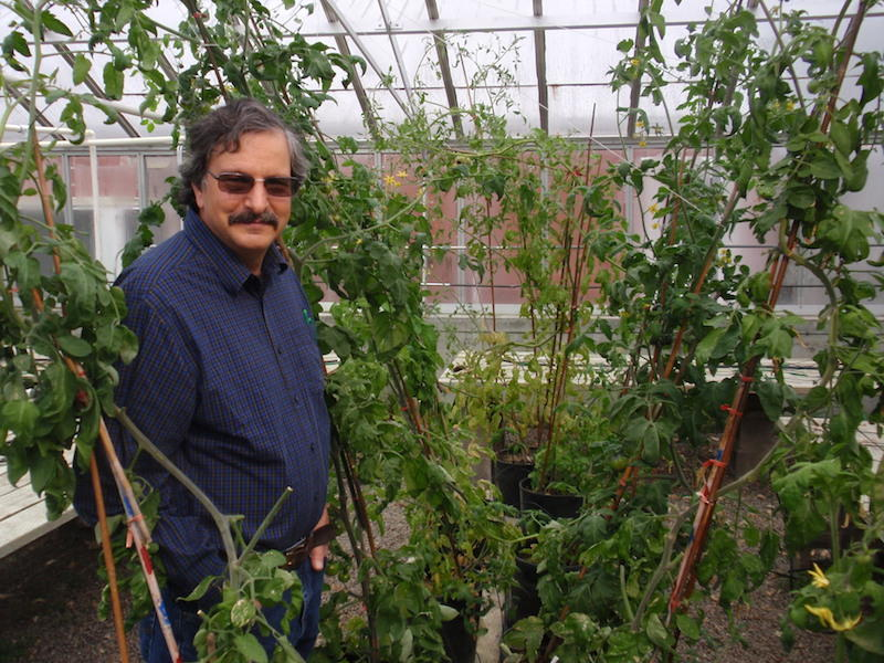 OSU plant breeder Jim Myers examines tomatoes in a greenhouse on the Corvallis campus.