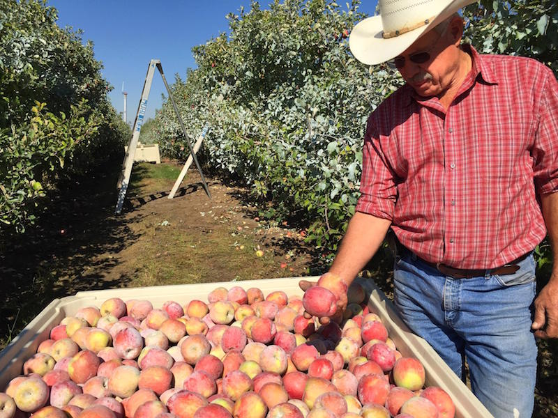 File photo. Many Northwest apple growers couldn't get thier fruit to international markets last winter during the prime Christmas fruit shipping season because of Western port slowdowns.