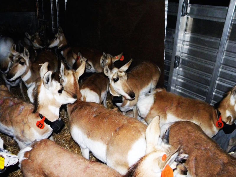 Pronghorn antelope awaiting their release during a reintroduction campaign on the Colville Indian Reservation.