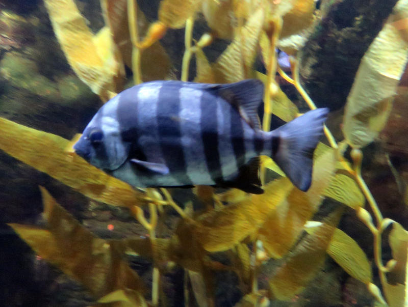 A striped beakfish that hitchhiked across the Pacific Ocean via a probable tsunami wreck now swims at the Oregon Coast Aquarium.