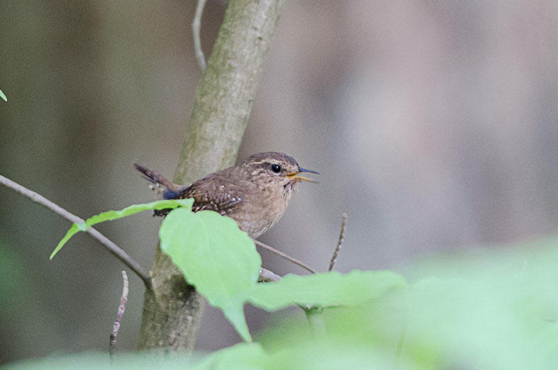 Development is forcing the Pacific wren and other song bird species to move away from urban areas like Seattle.