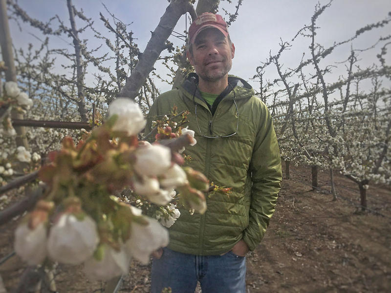 Matt Whiting, a scientist with Washington State University, is studying how a liquid with pollen suspended in it might replace bees in orchards during the spring time.
