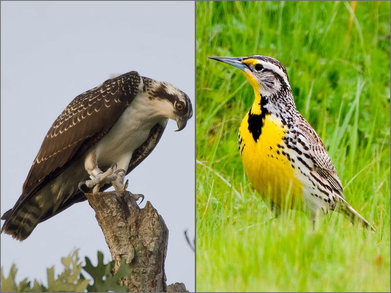 The Oregon Senate voted Thursday on a resolution that would designate the osprey, left, as the official state bird. It would replace the western meadowlark.