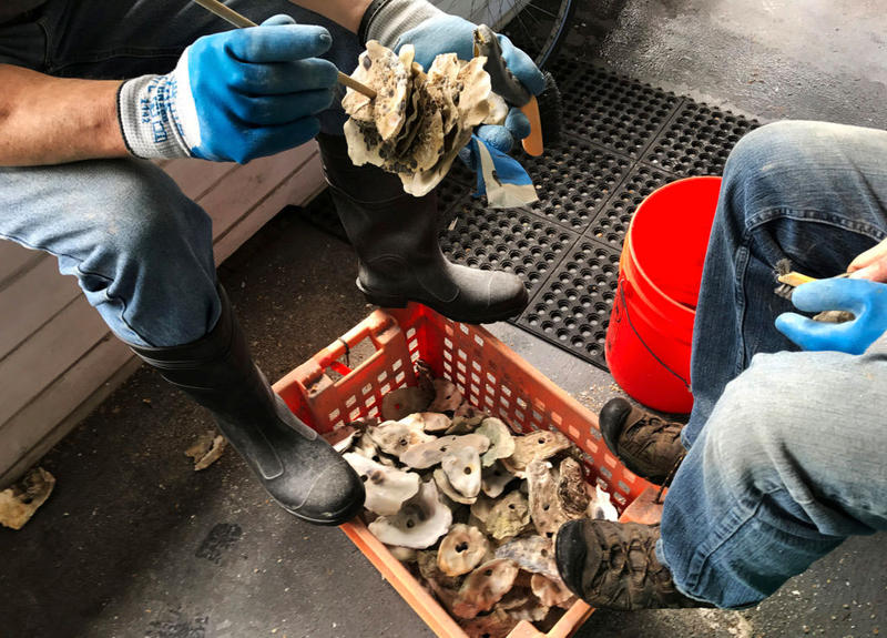 Brian Allen assembles a shell stack, or ''spat collector,'' on the porch of the Puget Sound Restoration Fund headquarters on Bainbridge Island. He's been monitoring the Olympia oyster since the early 2000s.