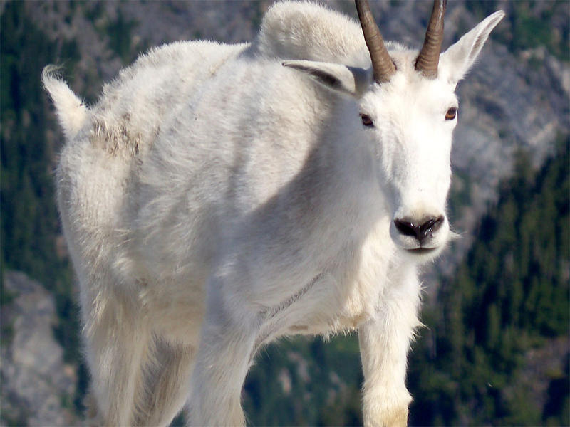 Mountain goats were introduced to the Olympic Peninsula in the 1920s.