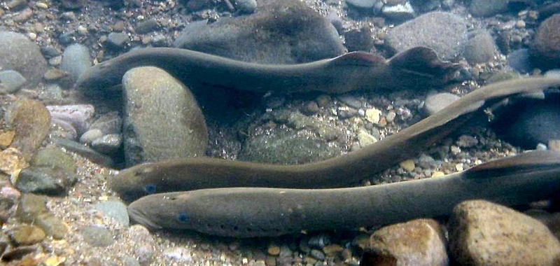 File photo of an adult Pacific lamprey. Lamprey are a very important traditional food for Northwest Native Americans.