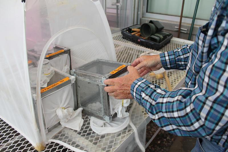 Peter Landolt handles wasps he studies at his lab on the outskirts of Yakima, Washington.
