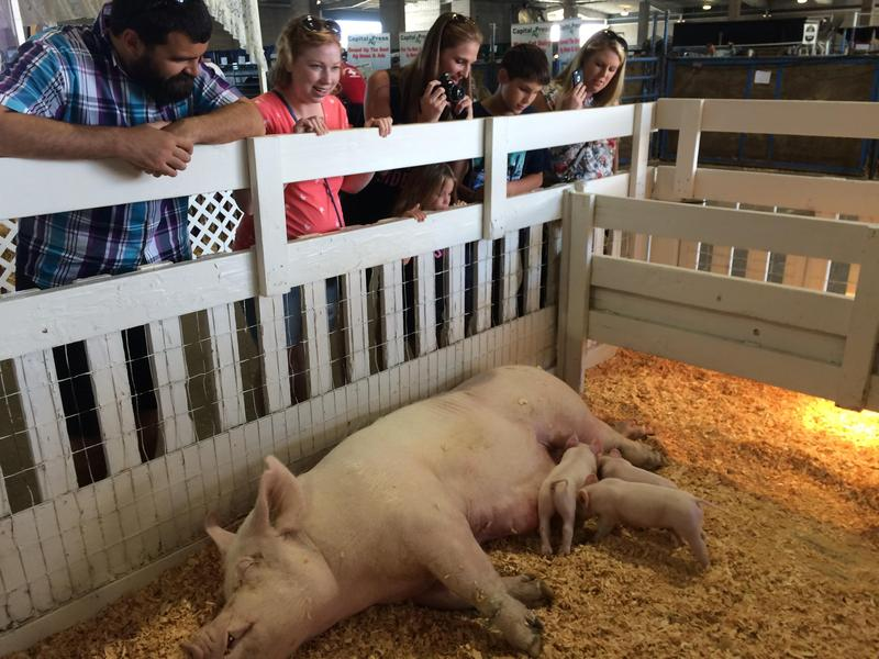 Piglets are a big draw at the Oregon State Fair in Salem.