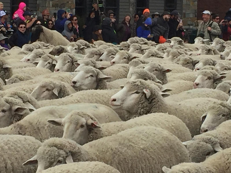 Around 1,500 sheep came through Main Street in Ketchum, Idaho, on Sunday for the annual ''Trailing of the Sheep'' festival. The sheep were herded through town by members of Faulkner Land & Livestock.