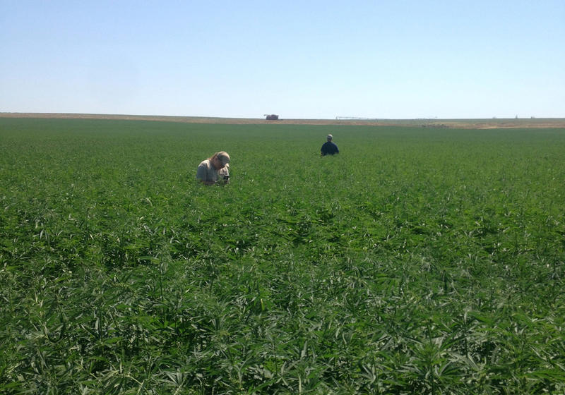 The first legal hemp field planted in Washington state in nearly 90 years grew outside Moses Lake in 2017.