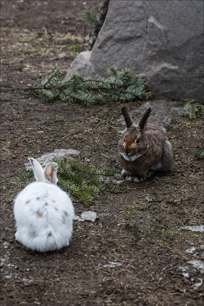 Easy pickings? Notice how much the white hare stands out on bare ground compared to the hare that didn't molt seasonally.