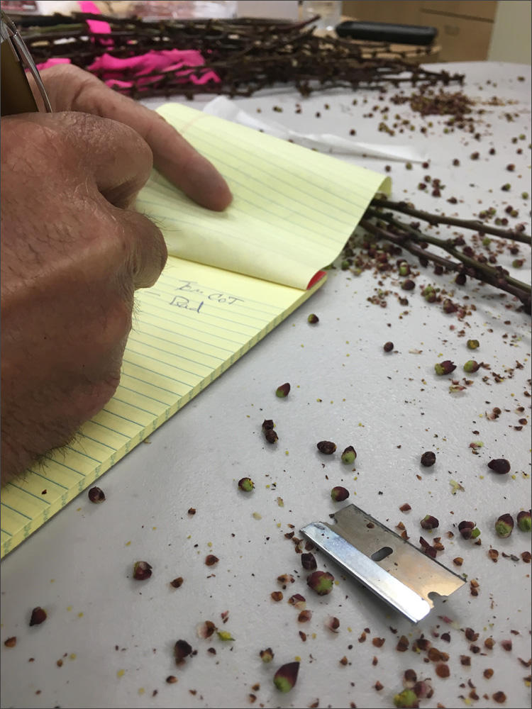 Cut fruit buds litter the plastic work table at Ric Valicoff's farm office in Wapato, Washington. Farmers cut open buds to see if they are alive or dead to predict how bad this year's summer crop was hit by cold weather.