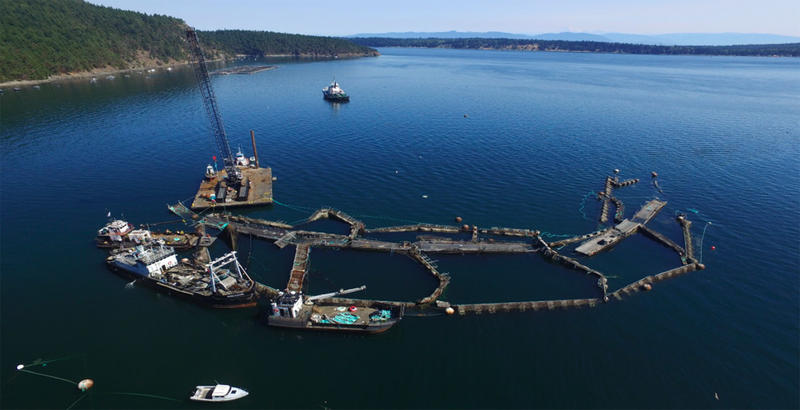 Drone view of collapsed Cypress Island net pens, which resulted in the escape of more than 200,000 non-native Atlantic salmon into Puget Sound.