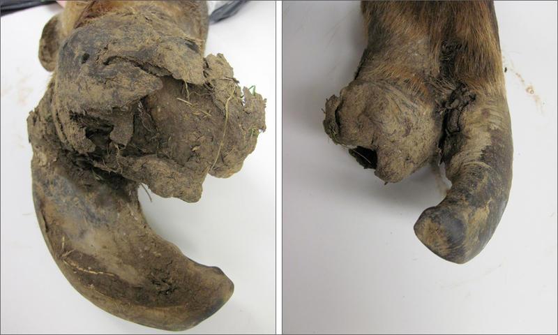Examples of diseased elk hooves. Elk hoof disease has been spreading in western Washington state since 2008.