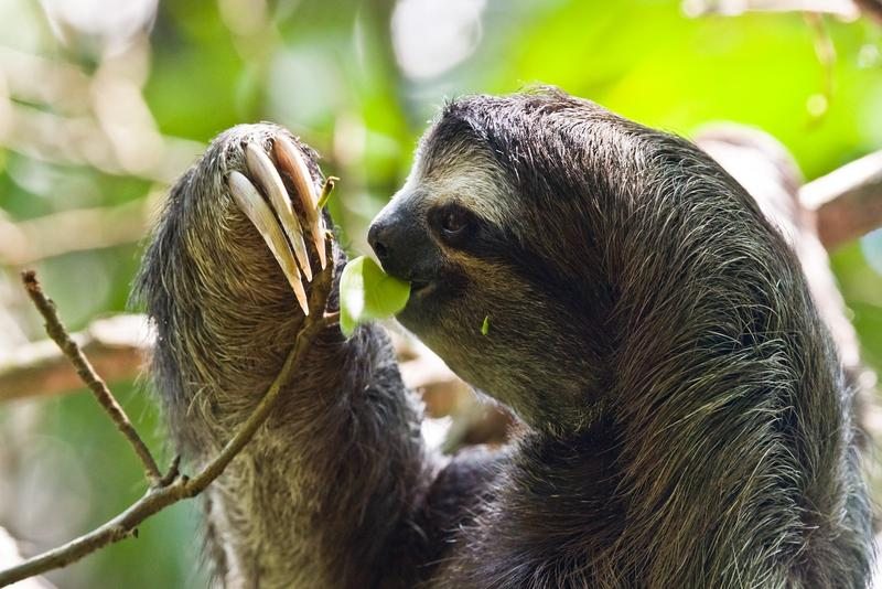 A three-toed sloth in Costa Rica.