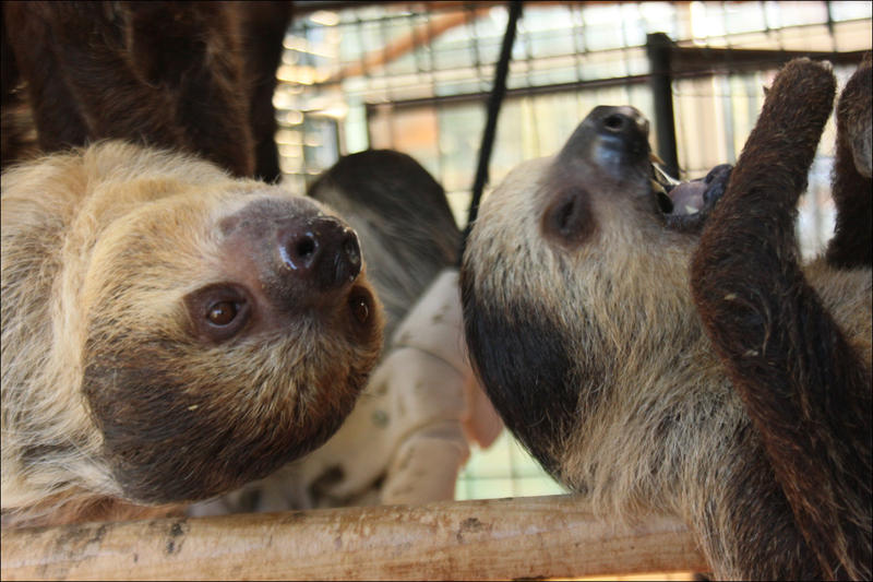 Two-toed sloths at the ZWCC Sloth Center in Rainier, Oregon, in 2014.