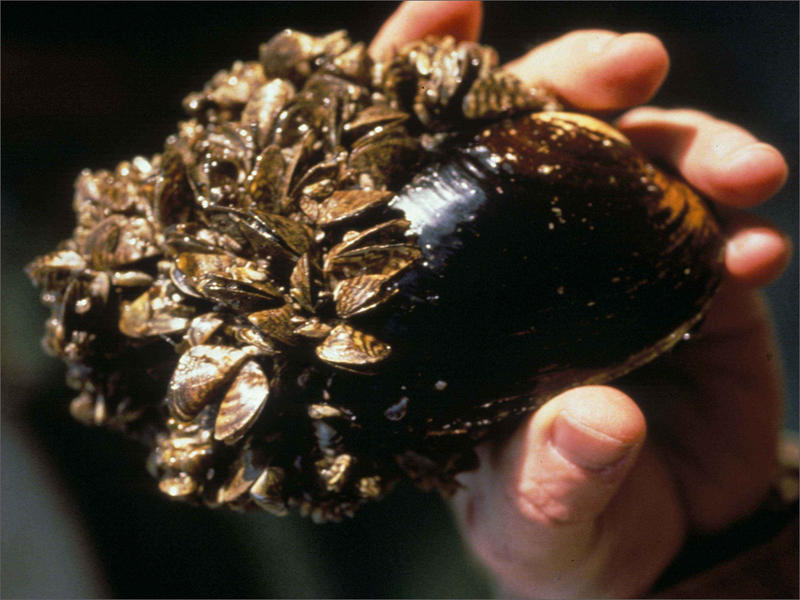FIle photo of invasive zebra mussels attached to a native species.