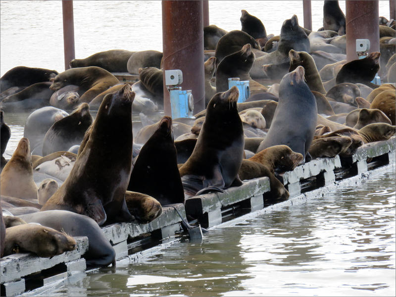 Sea lions rest at the mouth of the Columbia River before moving upriver to feast on seasonal salmon runs.
