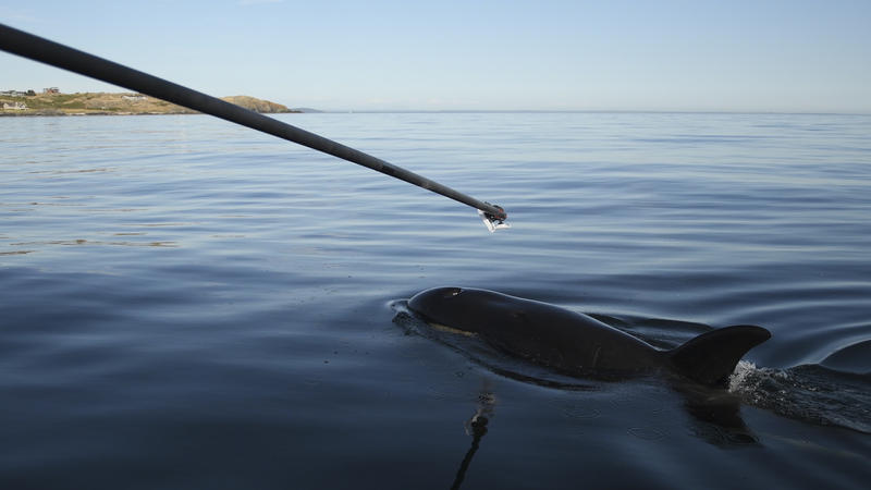 Researchers used a boom to collect exhalation samples from ailing orca J50 on July 21, 2018.