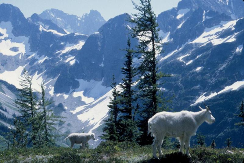 Mountain goats beside the Easy Pass trail in North Cascades National Park.